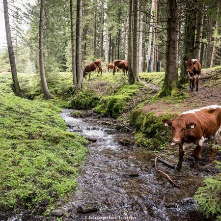 cows in the national park hohe tauern